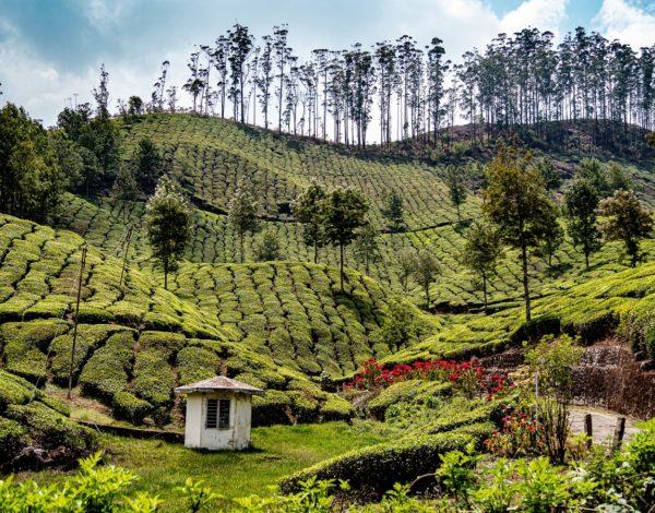 Munnar : Quand les thés m'étaient contés