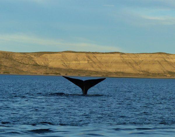 Patagonie, Puerto Madryn : Gang de baleines
