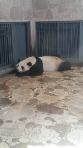 pandas-bouddha-13